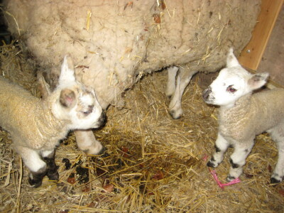 New Lambs for Spring 2011