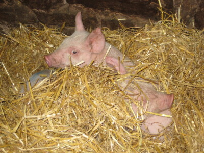 Yet More Piglets at Broome Park Farm!